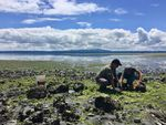Neuroscientists Joe Sisneros and Allison Coffin search for midshipman fish, also known as 'singing fish,' underneath large rocks on the rocky shores of Hood Canal.